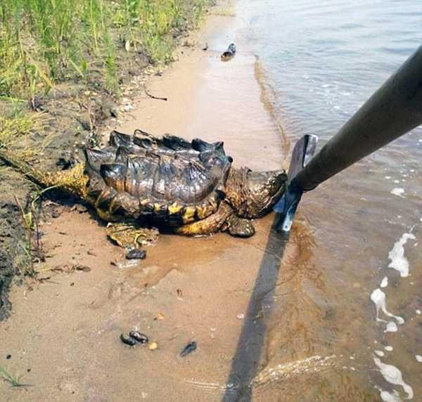 На берегу Амура нашли огромную экзотическую черепаху